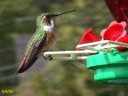 Manaco Hummingbirds